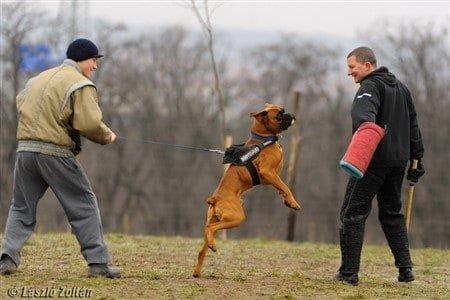 European Boxer dog training