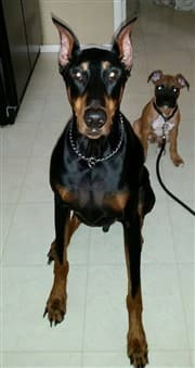 large-doberman-and-boxer-puppy