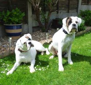 Male and female white Boxer dogs