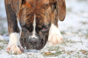 Boxer dog outside