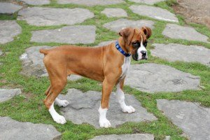 Boxer Breed Types German American And Uk Boxer Dog
