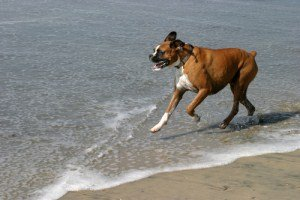 Boxer dog at beach