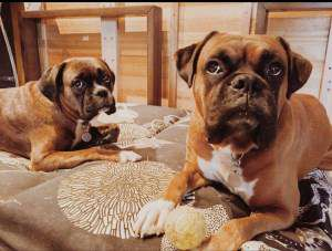 Boxer dogs in kitchen