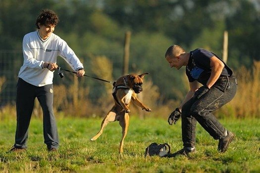 young-boxer-dog-learning-protection-training
