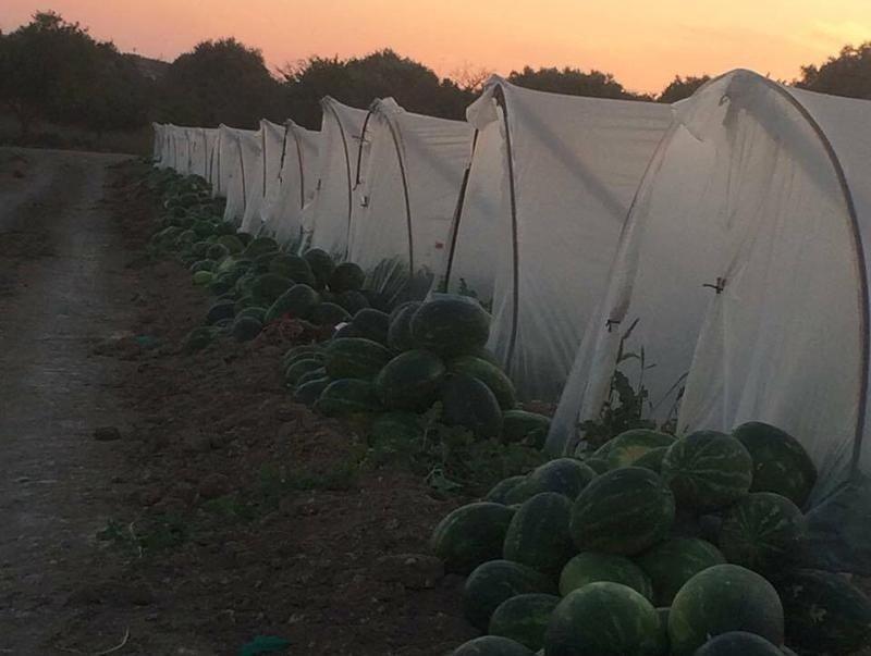 campo di angurie al tramonto