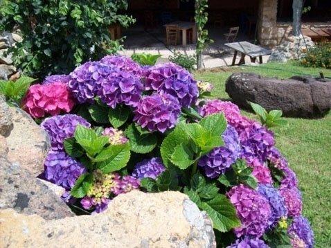 dettaglio ortensia in giardino