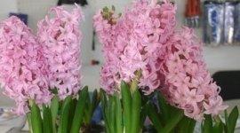 bulbi fiori, sementi,