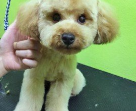 View of a dog after grooming