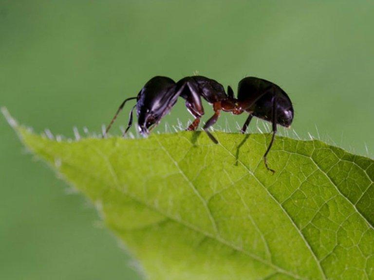 formiche disinfestazione
