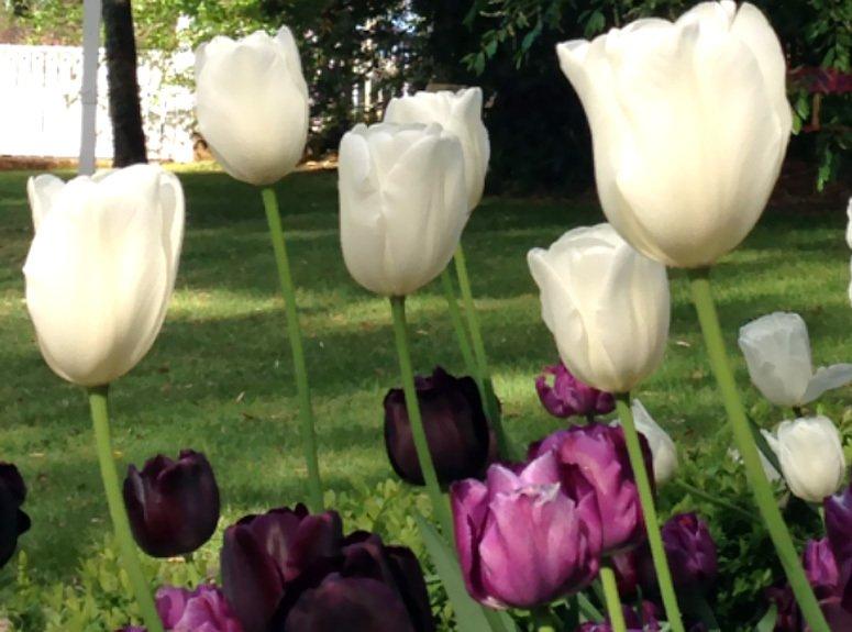 White tulip bulbs