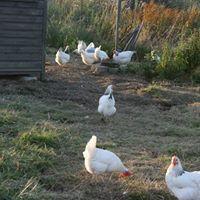 white coloured hen