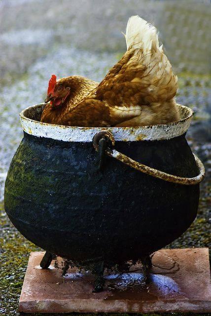 hen sitting in a pot