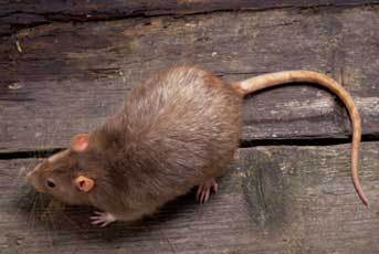 A rat on a wooden board