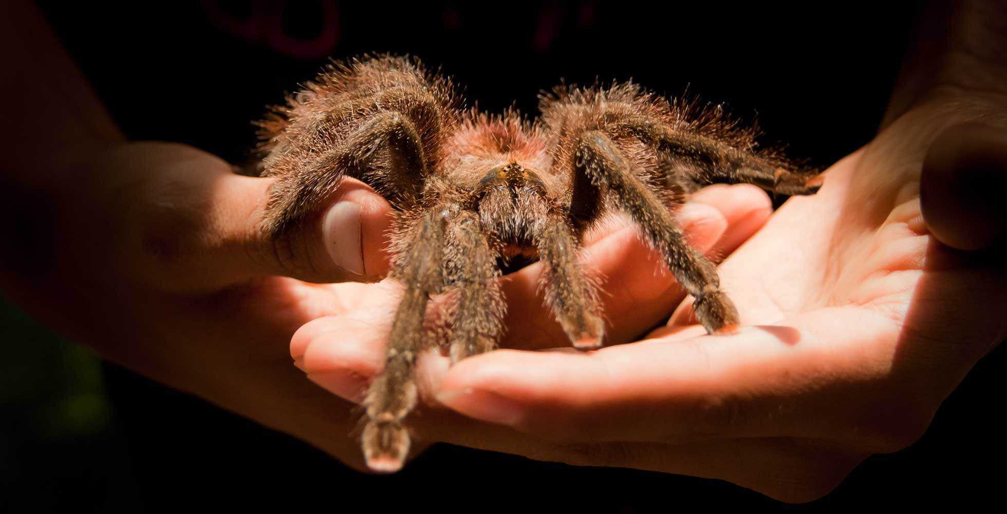 A hand holding a large brown furry palm-sized spider