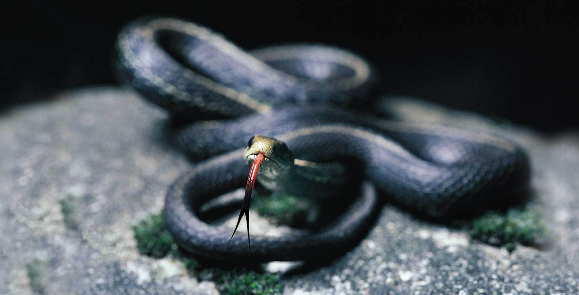 A coiled black snake with red forked tongue