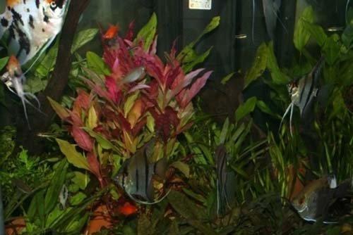 piante acquatiche in acquario