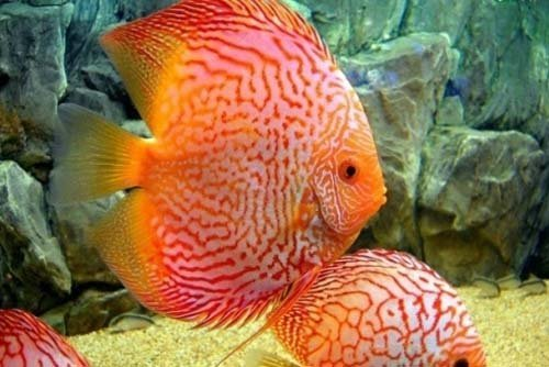 due pesci tropicali