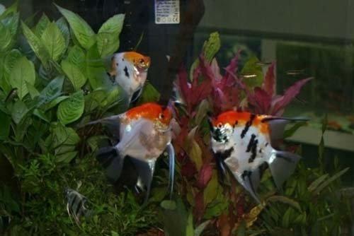 tre pesci colorati