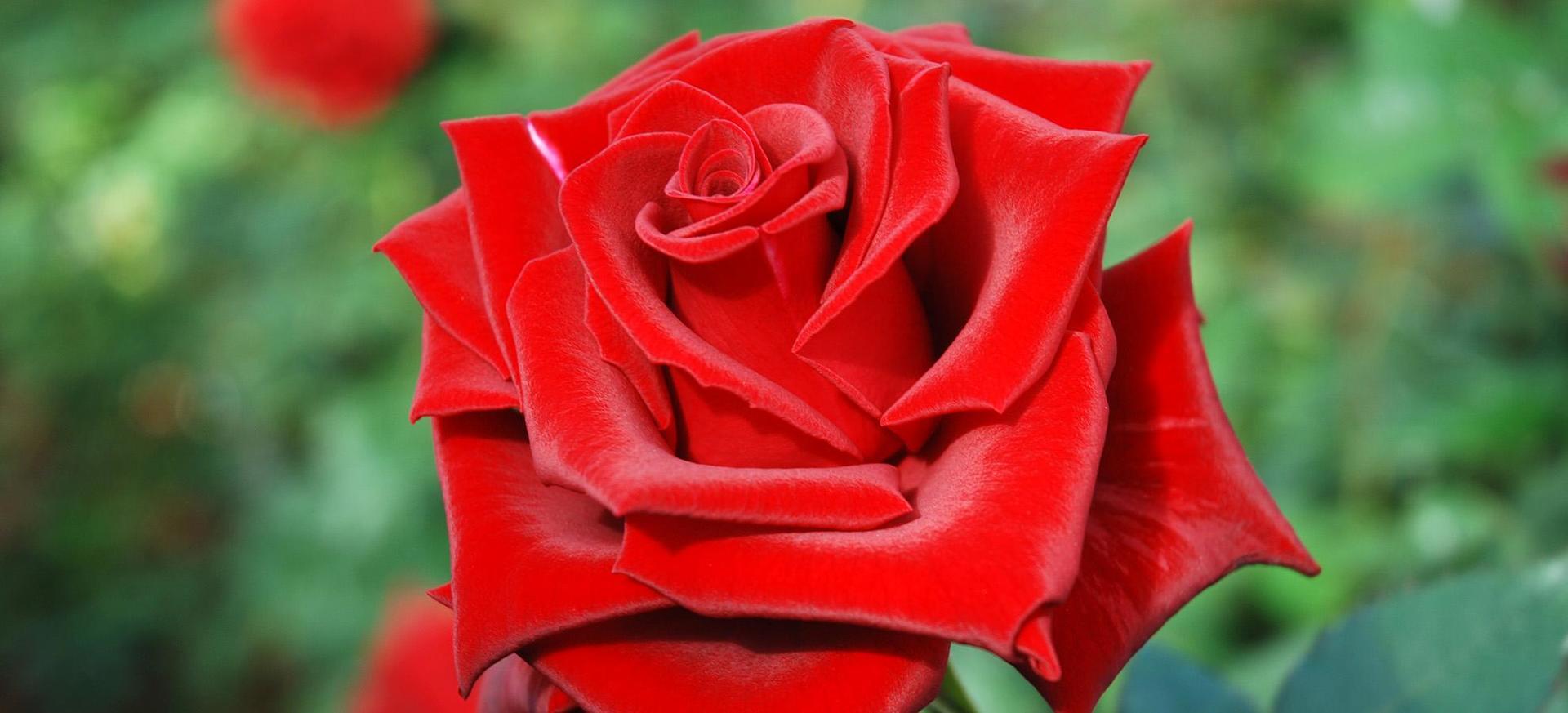Annaffierei le rose con le mie lacrime per sentire il dolore delle loro spine e il rosso bacio dei loro petali.