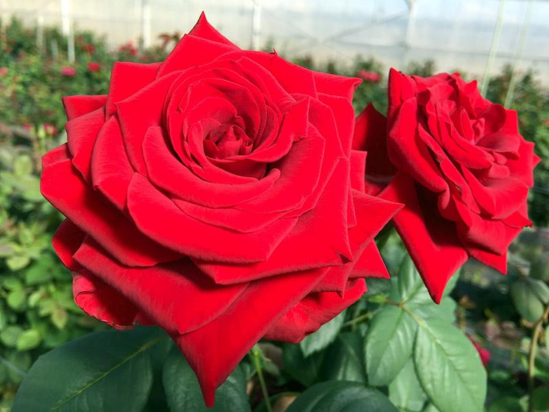 Rose (10)