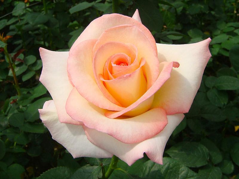 Rose (5)