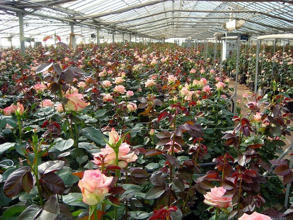 Serre Rose Sardaflora