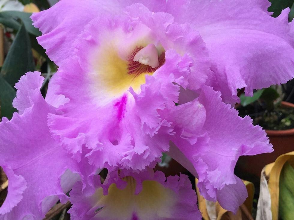 Orchidea Lilla
