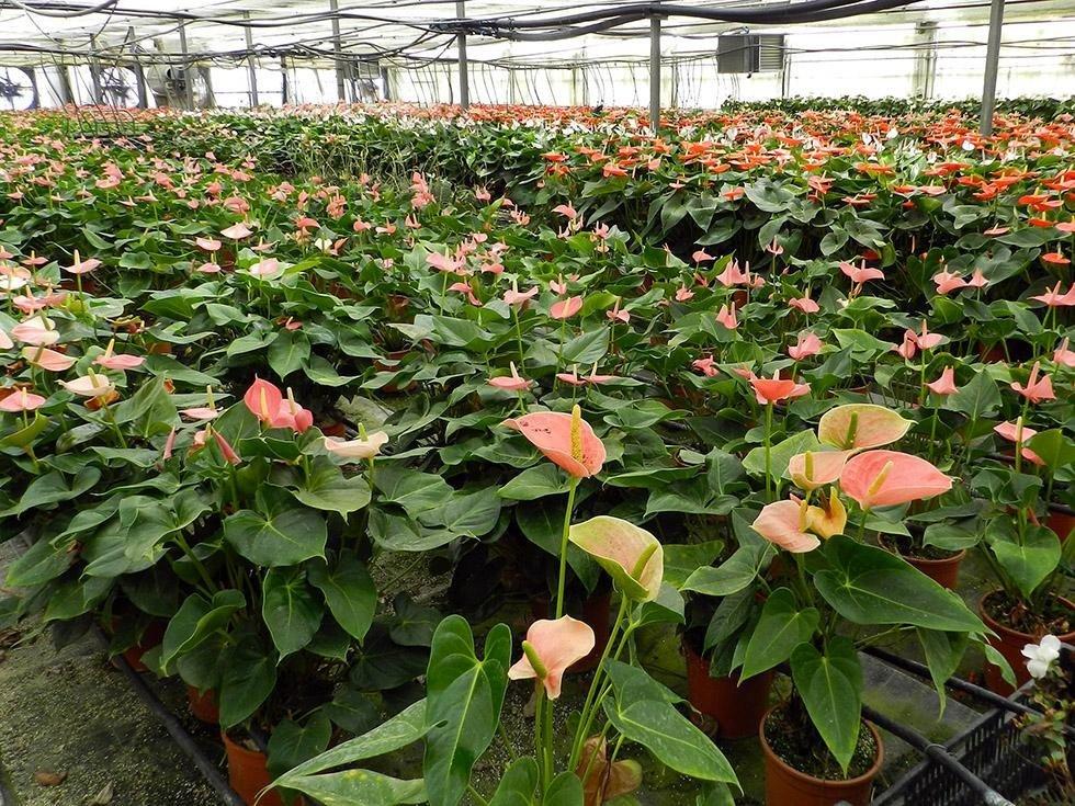 Serre Anthurium Sardaflora