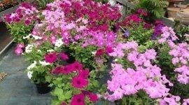 fiori per aiuole
