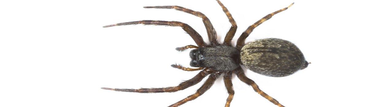 impact pest control brown spider