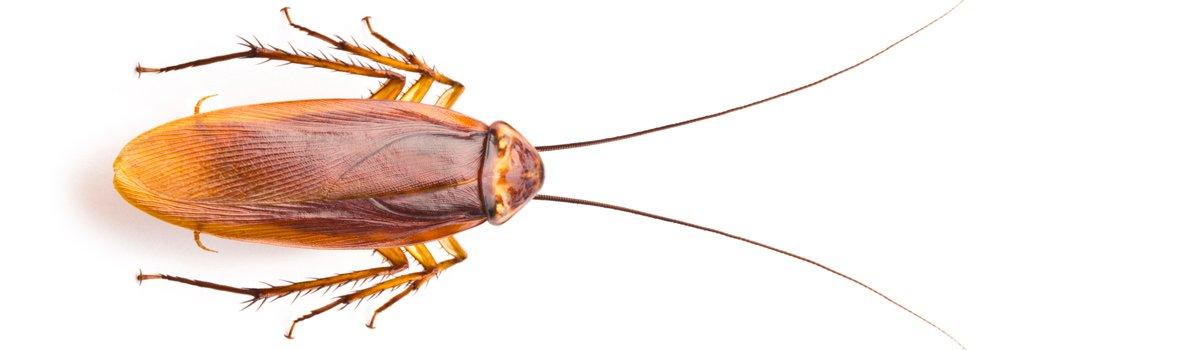impact pest control cockroach