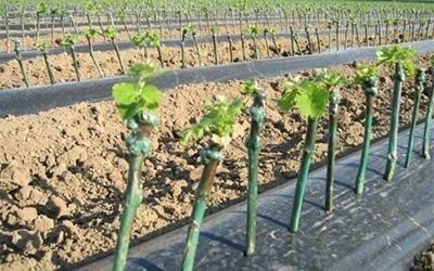 viticoltura Udine
