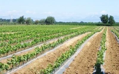 coltivazione pinot
