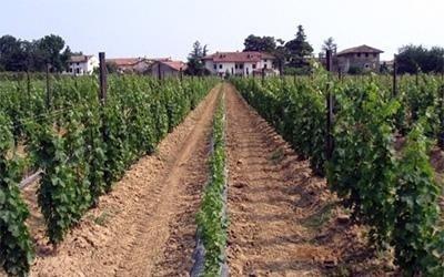 coltivazione vini friulani