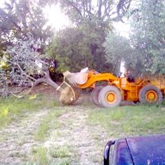 sradicamento alberi