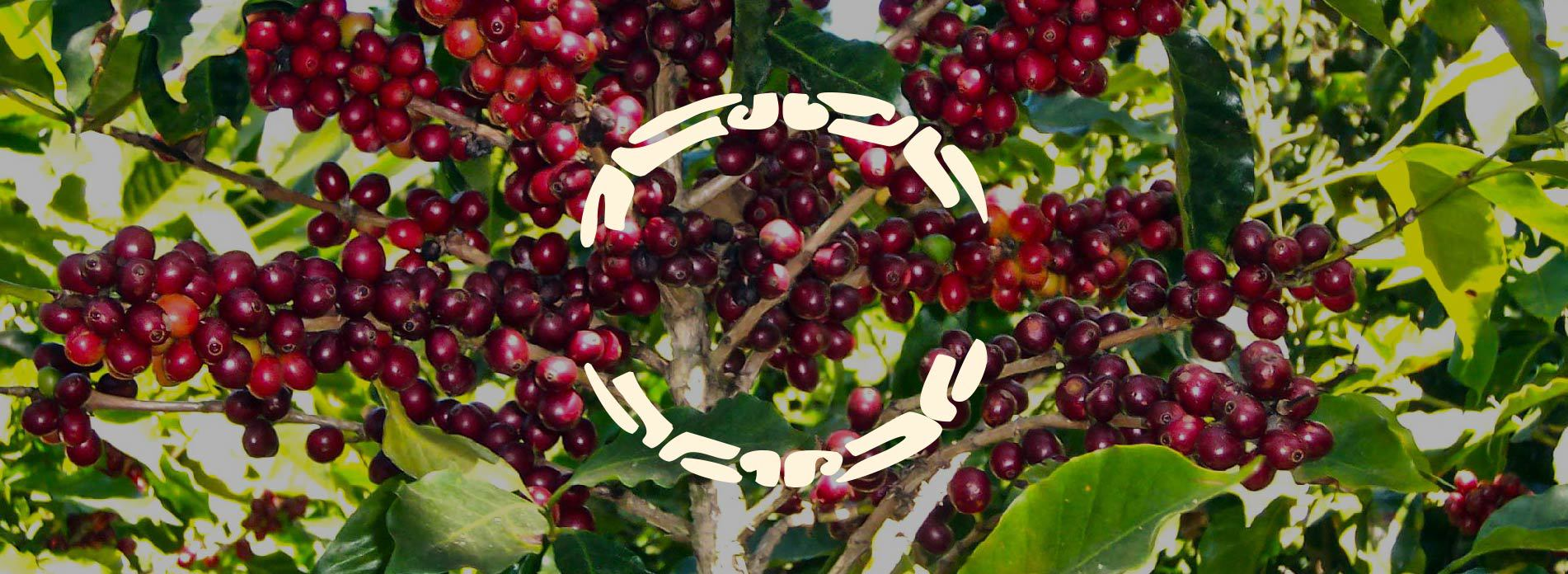 coffee tree full of fruits