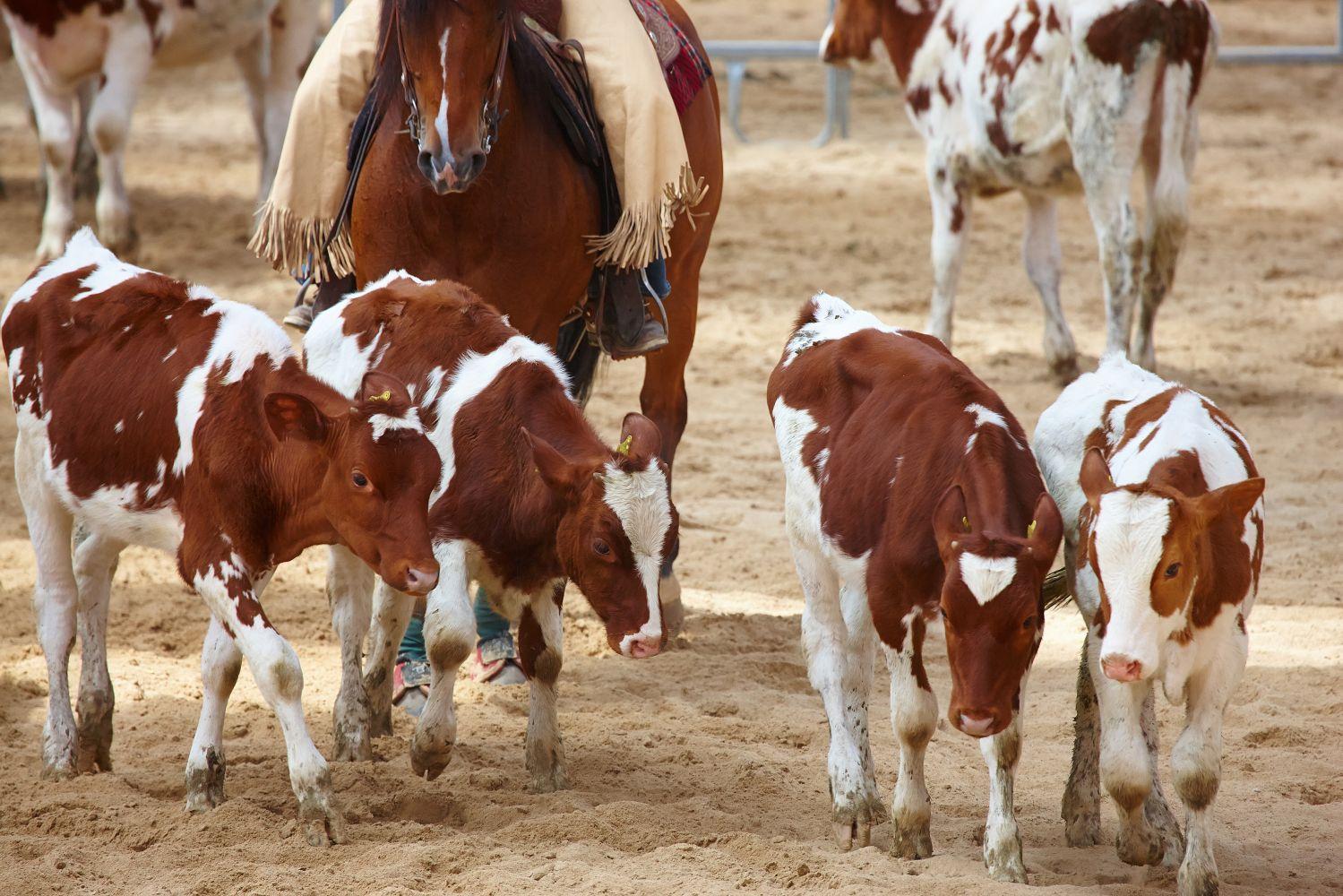 Texarkana, TX's professional cattle auctions