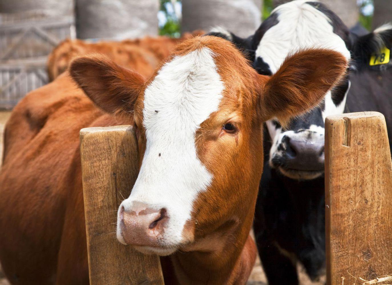 Cattle auctions in Texarkana, TX