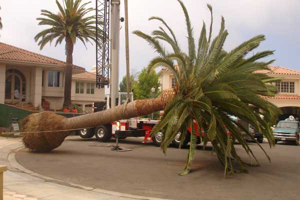 How To Remove A Palm Tree By Professionals