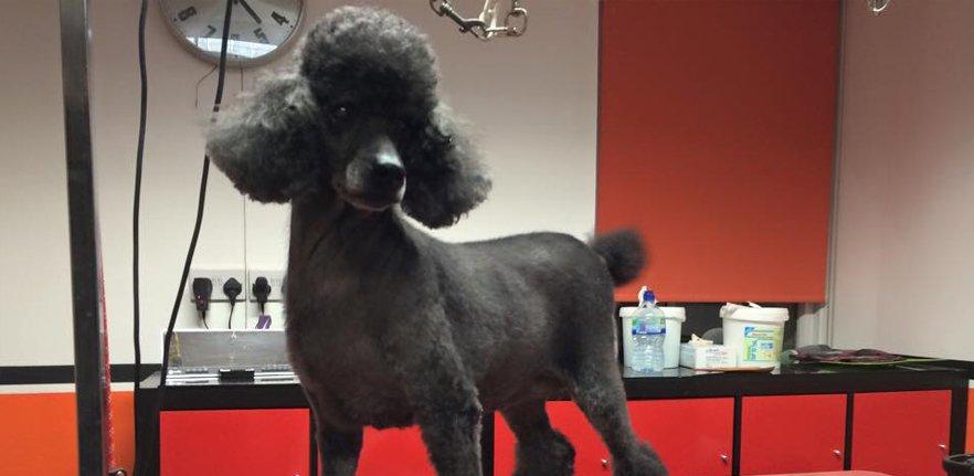 A large Poodle