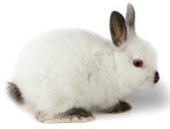 Patologie aviarie e del coniglio