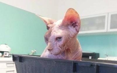 Gatto rinchiuso in un cassa plastica