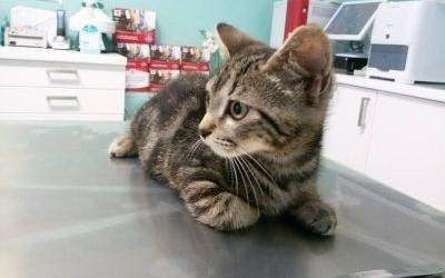 Gatto a strisce dal veterinario