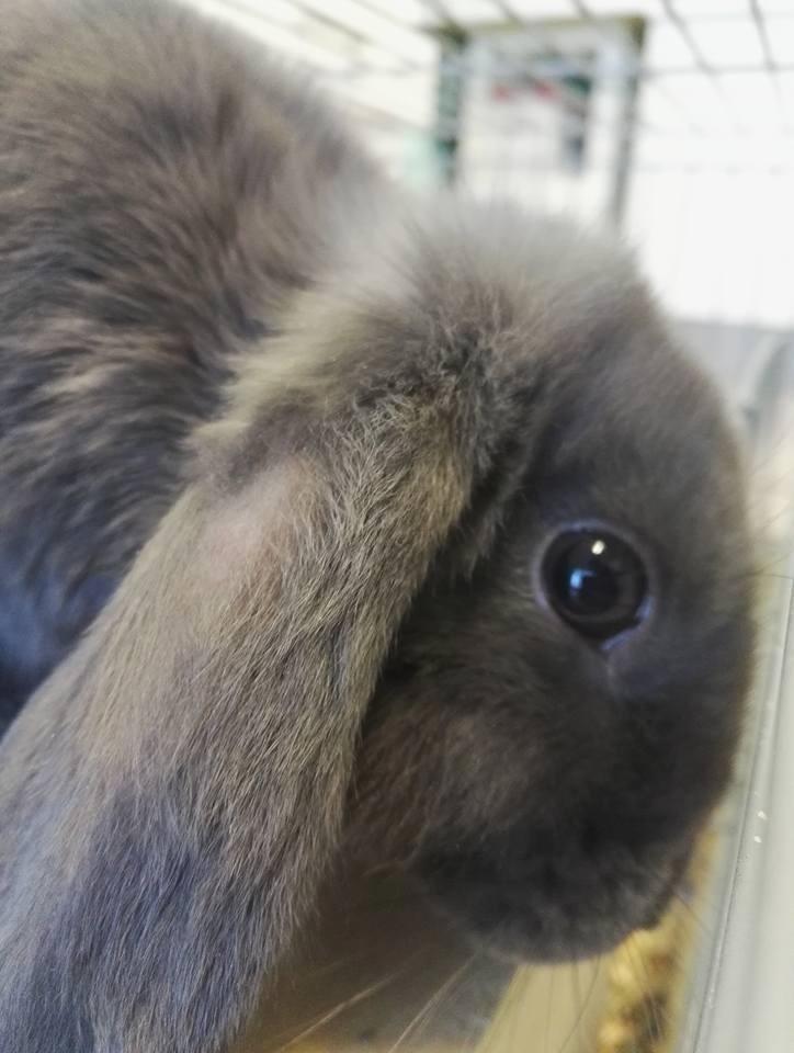 Primo piano della faccia del coniglio nero