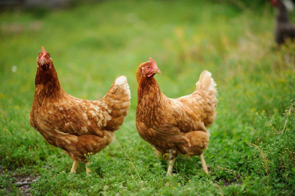 Allevamento polli a Manduria