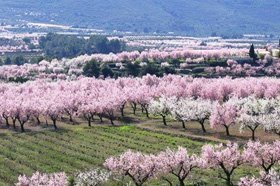 Jalon Valley Almond blossom in February