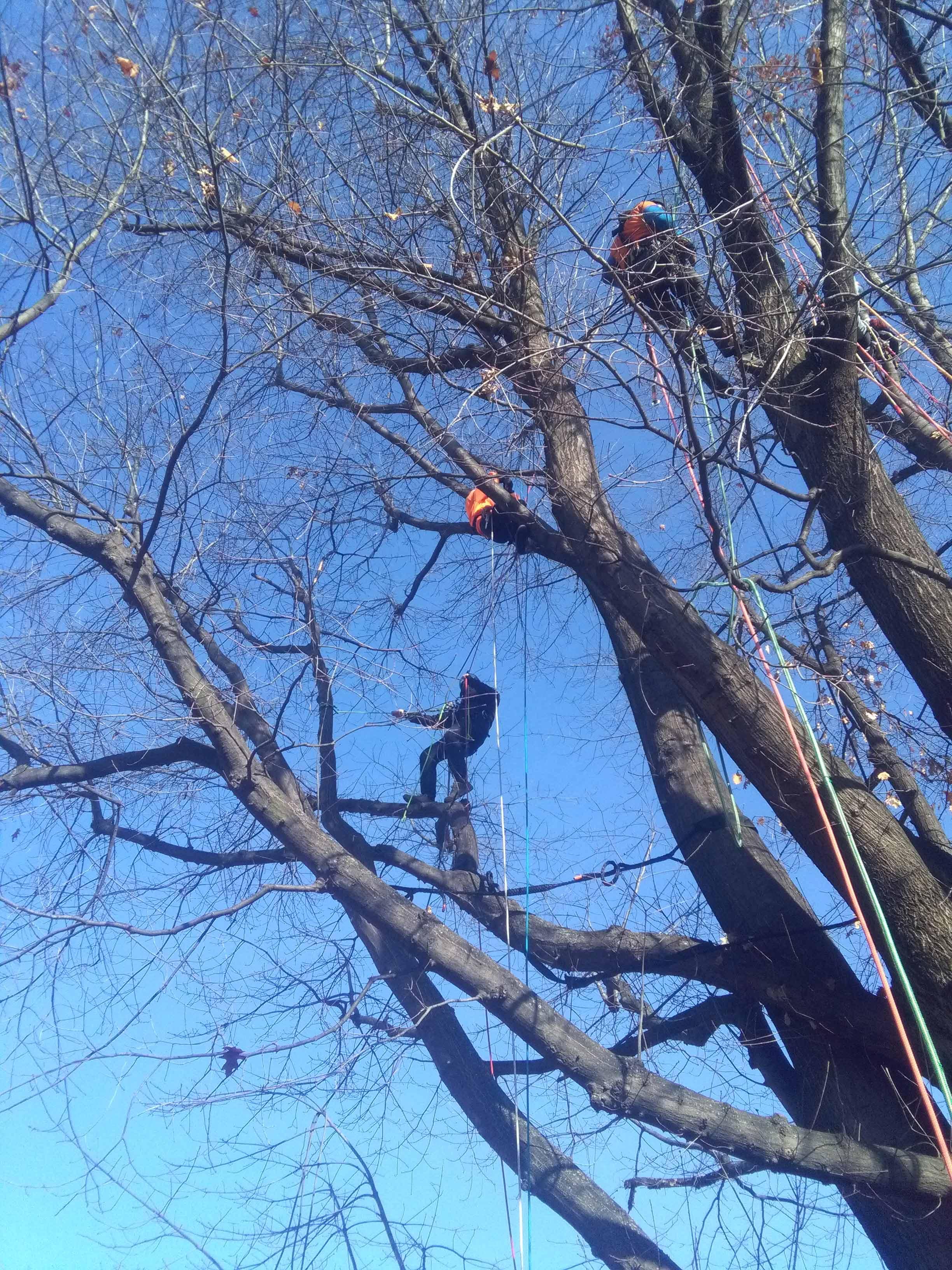 degli uomini al lavoro su un albero imbragati e con delle corde