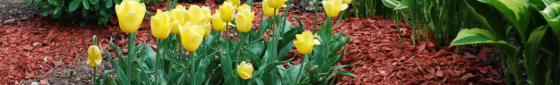 mulch and yellow tulips