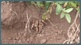 fitopatologia nematodi pomodoro