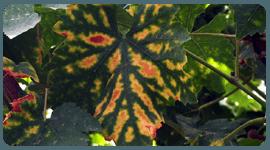 fitopatologia uva da tavola
